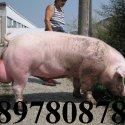 ЕКО СВИНЕФЕРМА ~ 0897 808 787 ~ гр. Монтана, продава ЦЕЛОГОДИШНО малки ПРАСЕНЦА и угоени ПРАСЕТА.   ПРОМОЦИЯ (до изчерпване) на прасенца за угояване ....   за УГОЯВАНЕ  за ПЕЧЕНЕ  за КЛАНЕ