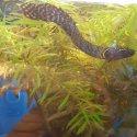 Продавам на промоция polypterus ornatipinnis