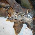 Продавам леопардов гекон