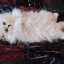 Коте - персийска сребърна чинчила * Kittens - Persian chinchilla silver