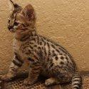 Налични котки, serval, caracal, savannah и ocelot котенца