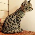 Савана и кокошки котенца, Serval на разположение