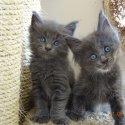 Чистокръвни котенца от породата МЕЙН КУУН!!!