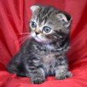 Клепоухо късокосместо женско котенце