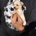 Чихуахуа - мъжко кученце