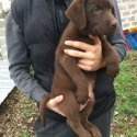 Лабрадор - шоколадови мъжки кученца
