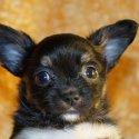 Много сладурско чихуахуа бебе мъжко черно