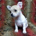 Много сладурско чихуахуа (chihuahua) бебе мъжко