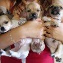 Много сладурски чихуахуа (chihuahua) бебета мъжки