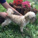 Шицу - мъжко кученце