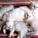 Очакваме малки, сладки котенца през декември! Запазете си мечтаното коте сега!