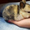 Продавам малки мини зайчета