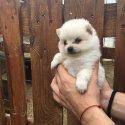Померан - перфектни кученца