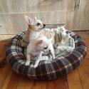 Чихуахуа - перфектно кученце