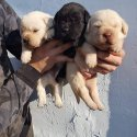 Лабрадор - перфектни кученца