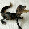 Продавам крокодилче