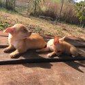 Мини пинчер - перфектни кученца