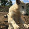 Швейцарска овчарка - женско кученце