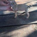 Мини пинчер - женско кученце