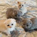 Очарователни шотландски сгъваеми котенца за продажба