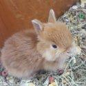 Продавам мини зайче холанско джудже