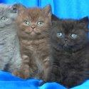 Чистокръвни Британски късокосмести котенца