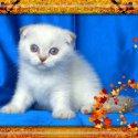 Колорпойнт - късокосмести котета със сини очи