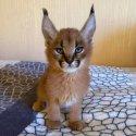 Serval и Savannah, каракал Регистрирани котенца