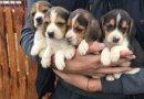 Бигъл - перфекти кученца