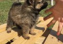 Мини шпиц - перфектни кученца