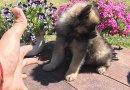 Мини шпиц - мъжки кученца