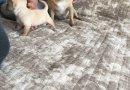 Чихуахуа - перфектни кученца