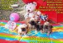 Мъжки и Женски кученца Кралски Пекинез с ваксина, паспорт, подаръци