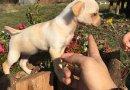 Мини пинчер - перфектно кученце