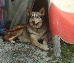 Американско индианско куче