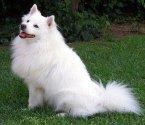 Американско ескимоско куче