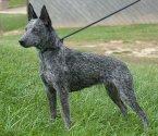 Австралийско късоопашато пастирско куче
