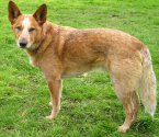 Австралийско пастирско куче