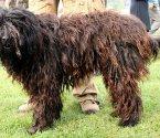 Бергамско пастирско кучe