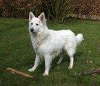 Бяла швейцарска овчарка