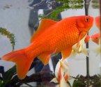 Червена златна рибка