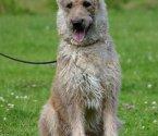 Белгийска овчарка Лакеноа