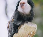 Маймунка