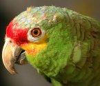 Папагали Амазона