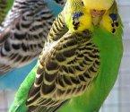 Вълнисто папагалче