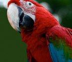 Зеленокрил ара