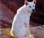 Канаанско куче