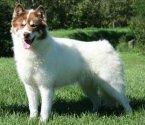 Канадско ескимоско куче