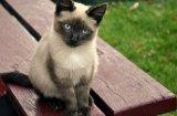 Цветът на котката разкрива нейния характер