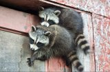 Животни крадци, запечатани на видео